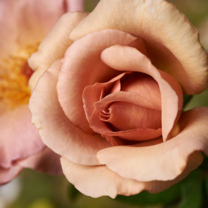 close up photo of Julia's Rose at excitations online shop, bare rooted roses for sale Victoria, Australia