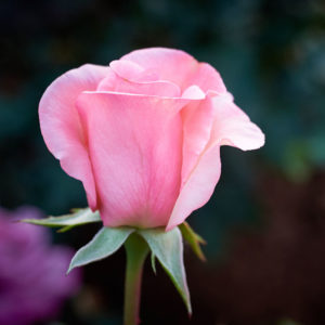 Close up of bright pink coloured rose bud. Flamingo. Bare rooted rose from Excitations online store.