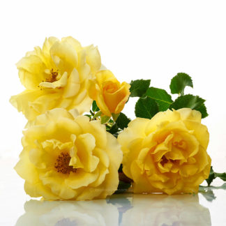Studio image of Gold Bunny rose flowers. Photo y excitations online shopping, bare rooted roses