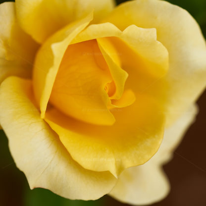 Macro photo of bright yellow floribunda rose, called Gold Bunny. Photto by excitations online shop, roses bare rooted for sale.